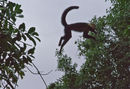 Leaping Whiteface Monkey