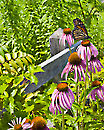 Butterfly & Cone Flowers